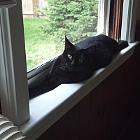 Domestic Mediumhair Cat for adoption in Cleveland, Ohio - Cora