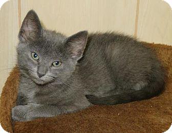 American Shorthair Kitten for adoption in Ellicott City, Maryland - .Junebug