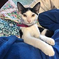 Adopt A Pet :: Amanda - Miami Shores, FL