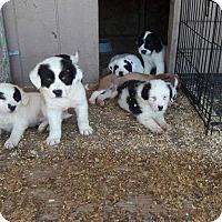 Adopt A Pet :: Border Collie X pups - Staunton, VA
