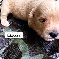 Adopt A Pet :: Linus Schultz - Alpharetta, GA