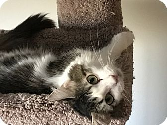 Domestic Mediumhair Cat for adoption in Romeoville, Illinois - Lilo