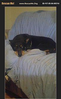 Australian Shepherd Mix Dog for adoption in Phoenix, Arizona - tiki