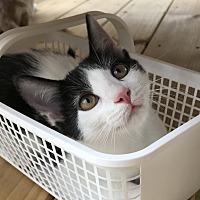 Adopt A Pet :: Pongo - Chattanooga, TN