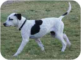 Boxer/Dalmatian Mix Dog for adoption in Gilbert, Arizona - Jasmine