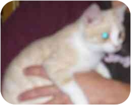 Domestic Shorthair Cat for adoption in Fayette, Missouri - Porthos