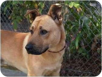 Shepherd (Unknown Type) Mix Dog for adoption in El Cajon, California - Lucky