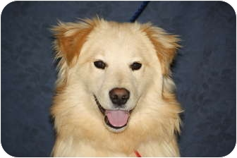 Golden Retriever Mix Puppy for adoption in West Milford, New Jersey - AXEL