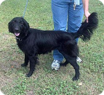 Flat-Coated Retriever Mix Dog for adoption in Largo, Florida - MYRA