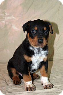 Pointer/Labrador Retriever Mix Puppy for adoption in Westminster, Colorado - Toil