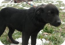 Labrador Retriever Mix Puppy for adoption in Salem, Massachusetts - Barney