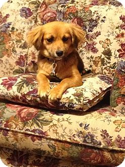 Dachshund/Spaniel (Unknown Type) Mix Dog for adoption in Spring Valley, New York - Candy