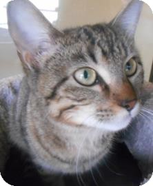 Domestic Shorthair Cat for adoption in Lewisville, Texas - Lynn