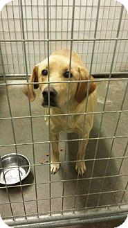 Labrador Retriever Mix Dog for adoption in Sauk Rapids, Minnesota - Skipper