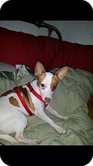 Rat Terrier Mix Puppy for adoption in Savannah, Tennessee - Rosie