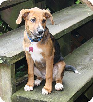 Beagle/Feist Mix Dog for adoption in Rayville, Louisiana - Bella