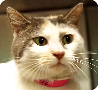 Domestic Shorthair Cat for adoption in Daytona Beach, Florida - Nibbles