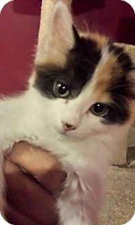 Domestic Longhair Kitten for adoption in Chicago, Illinois - Toph