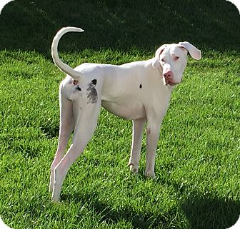 Great Dane Dog for adoption in St. Louis, Missouri - Marigny