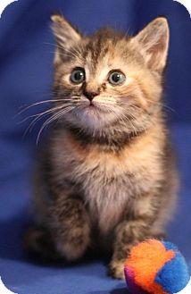 Domestic Shorthair Kitten for adoption in Winston-Salem, North Carolina - Moonpie