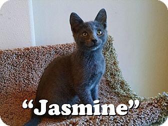 Domestic Shorthair Cat for adoption in Daytona Beach, Florida - Jasmine