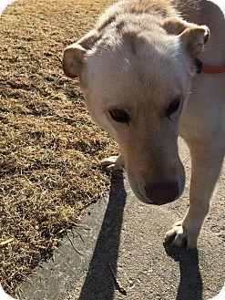 German Shepherd Dog/Labrador Retriever Mix Dog for adoption in Littleton, Colorado - TOBY