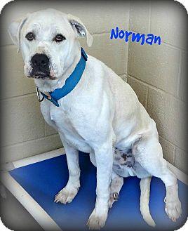 Labrador Retriever/Great Dane Mix Dog for adoption in Benton, Arkansas - Norman