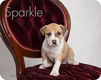 Boxer/Labrador Retriever Mix Puppy for adoption in Eden Prairie, Minnesota - Sparkle