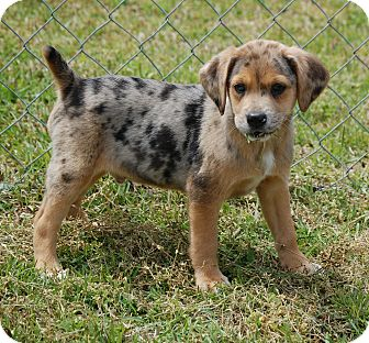 Beagle Mix Puppy for adoption in Manning, South Carolina - Freckles