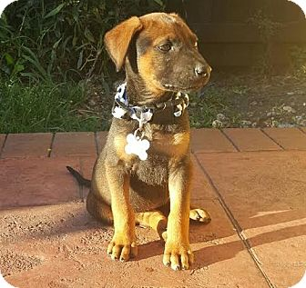 German Shepherd Dog/Labrador Retriever Mix Puppy for adoption in Homestead, Florida - Bane