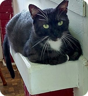 Domestic Shorthair Cat for adoption in Tampa, Florida - Mr Boots