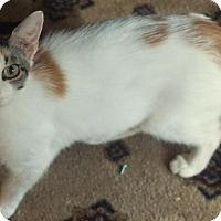 Adopt A Pet :: Peggy - Wauconda, IL