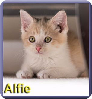 Domestic Shorthair Kitten for adoption in Aldie, Virginia - Alfie