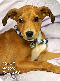 Beagle Mix Puppy for adoption in Newnan City, Georgia - Scout