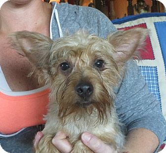 Yorkie, Yorkshire Terrier Puppy for adoption in Greenville, Rhode Island - Marcello