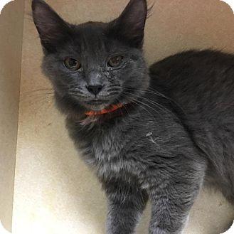 Domestic Mediumhair Kitten for adoption in Westminster, California - Behati