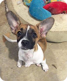 Rat Terrier/Dachshund Mix Puppy for adoption in Mesa, Arizona - Lexy