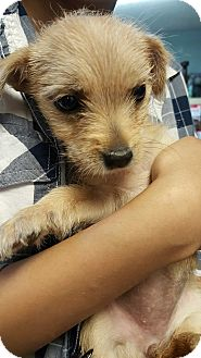 Fox Terrier (Wirehaired) Mix Puppy for adoption in Yelm, Washington - Butter