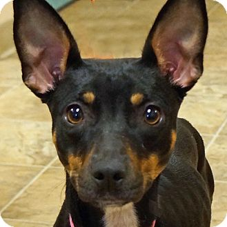 Manchester Terrier Mix Dog for adoption in Sprakers, New York - Pixie