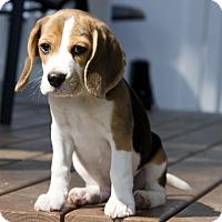 Adopt A Pet :: Noel - Nanuet, NY