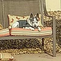 Adopt A Pet :: CHEWIE - Chandler, AZ