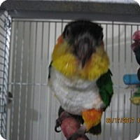 Caique for adoption in Burleson, Texas - Simon