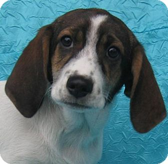 Basset Hound/Border Collie Mix Dog for adoption in Cuba, New York - Carly Bene-Care