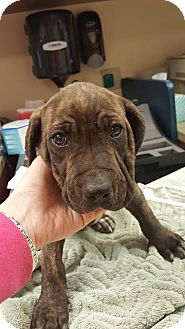Pit Bull Terrier/Hound (Unknown Type) Mix Puppy for adoption in Fort Wayne, Indiana - Homer