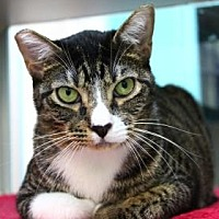Domestic Shorthair/Domestic Shorthair Mix Cat for adoption in New Orleans, Louisiana - Freddie