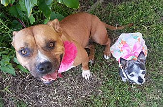 American Staffordshire Terrier Dog for adoption in Costa Mesa, California - Yoshi