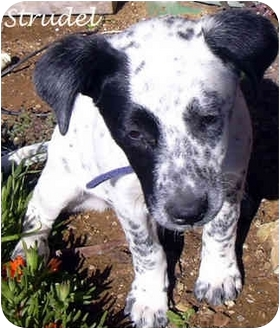 Dalmatian Mix Puppy for adoption in Mandeville Canyon, California - Strudel