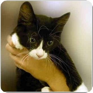 Domestic Shorthair Kitten for adoption in San Clemente, California - COMANCHE