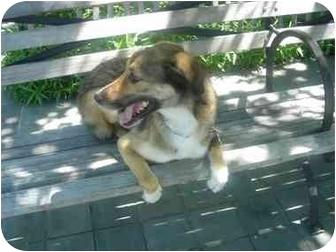 Collie/Shepherd (Unknown Type) Mix Dog for adoption in Long Beach, New York - Sammy