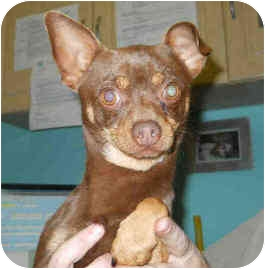 Chihuahua Dog for adoption in San Clemente, California - DEXTER